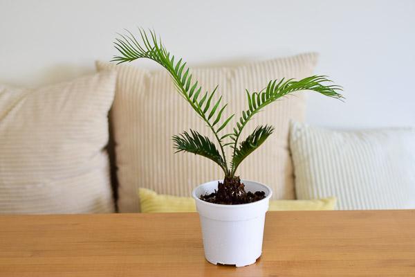 sago palm 14cm